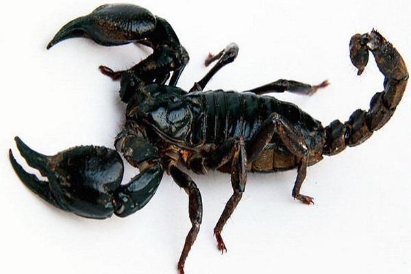 Điềm báo giấc mơ thấy bọ cạp