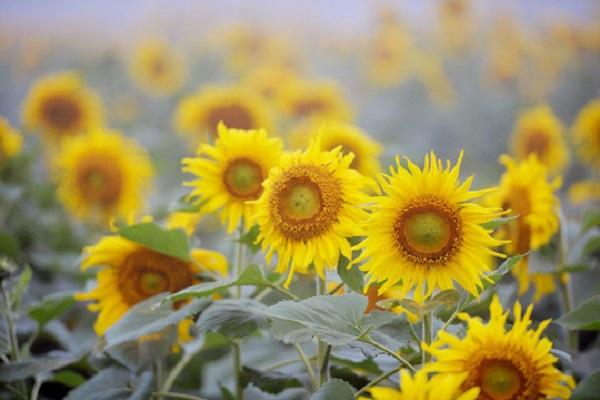 Điềm báo giấc mơ thấy bông hoa