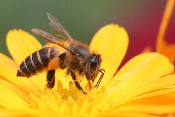 Ý nghĩa giấc mơ thấy con ong