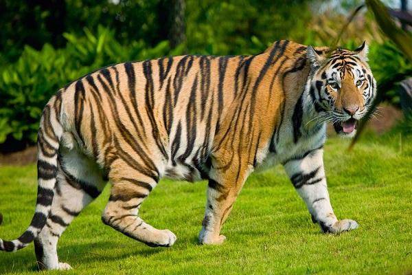 Mơ thấy con hổ mang đến những điềm báo như thế nào?