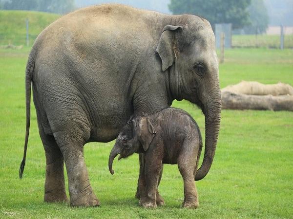 Mơ thấy con voi là điềm báo gì, mang đến ý nghĩa gì?