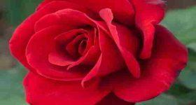 Ngủ mơ thấy hoa hồng có phải điềm báo tốt lành?
