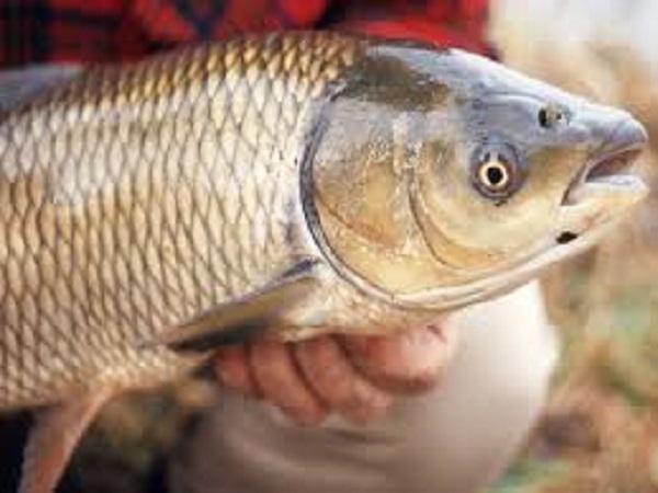 Giải mã bí ẩn giấc mơ thấy cá trắm điềm báo gì may mắn