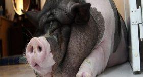 Nằm mơ thấy Lợn có ý nghĩa gì? Nên đánh con số nào để may mắn
