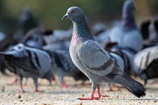 Mơ thấy chim bồ câu đánh con gì - Chiêm bao thấy chim bồ câu là điềm gì